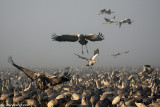 5295872446_5f0a1bfc91 Dawn with The common Crane_ Agamon HaHula_ Israel_L.jpg