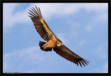 Griffon Vulture Eagle