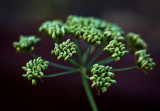 Parsley, gone to seed