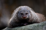 The Stare of the Mongoose