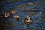 Female Musk duck and her young