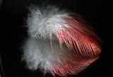 Galah feather