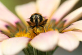 Bee in a Gazania