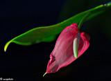 Sherri's Anthurium