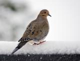 Mourning Doves return