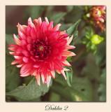 Dahlia2