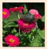 Spicebush Swallowtail Showing Its Beauty