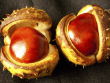 Horse Chestnut tree seeds
