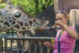 Olivia feeding the Reticulated Giraffe, Bahatiki