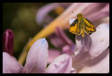 Skipper on a Day Lily