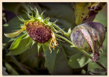 Spent Sunflower and Pod