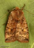 Three-spotted Sallow Eupsilia tristigmata #9935