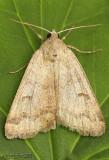 Common Oak Moth Phoberia atomaris #8591