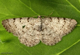 Four-barred Gray - Aethalura intertexta #6570