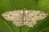 Small Engrailed Moth Ectropis crepuscularia #6597