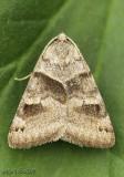 Clover Looper Caenurgina crassiuscula #8738