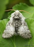 Yellowhorn Colocasia flavicornis #9184
