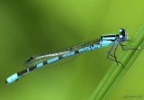 Northern Bluet Enallagma annexum