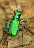 Six-spotted Tiger Beetle Cicindela sexguttata