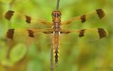 Painted Skimmer Libellula semifasciata