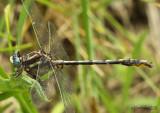 Lancet Clubtail Phanogomphus exilis