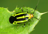 Four-lined Plant Bug Poecilocapsus lineatus