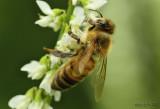 Honey Bee Apis mellifera