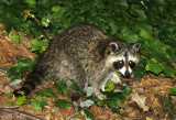 Northern Raccoon