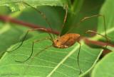 Hadrobunus grandis not a spider