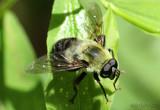Flower Fly Eristalis flavipes