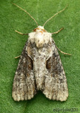 Double Lobed Moth Lateroligia ophiogramma #9385.1