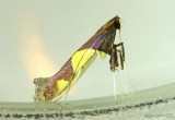 Caloptilia bimaculatella #0595
