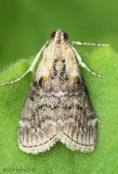 Striped Oak Webworm Moth Pococera expandens #5608