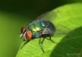 Green Bottle Fly Lucilia sericata