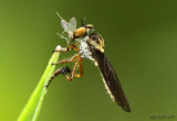 Robber Fly Holcocephala fusca