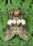Black Zigzag Moth Panthea acronyctoides #9177