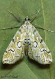 Pondside Pyralid Moth Elophila icciusalis #4748