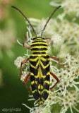 Locust Borer Longhorned Beetle