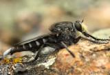 Robber Fly Promachus albifacies