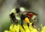 Bumble Bee Bombus tennaris