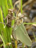 Hudsonian Emerald Somatochlora hudsonica