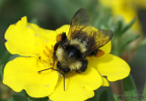 Bumble Bee Bombus fervidus worker