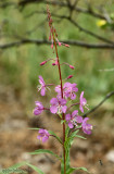 Fireweed Cherion angustifolium