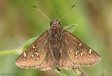 Mexican Cloudywing
