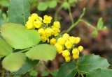 Oregon Grape Mahonia repens