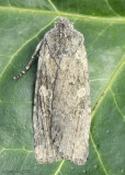 Dowdy Pinion Moth Lithophane unimoda #9916