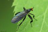 Long-tailed Dance Fly Rhamphomyia longicauda