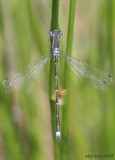Sweetflag Spreadwing Lestes forcipatus