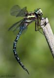 Green-striped Darner Aeshna verticalis