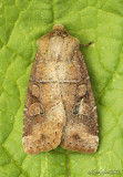 Normans Quaker Moth Crocigrapha normani 10501